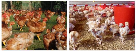 poulets_2